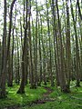 Alder carr, Matley Bog, New Forest - geograph.org.uk - 188368.jpg