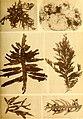 Alghe di Australia, Tasmania e Nuova Zelanda raccolte dal rev. dott. Giuseppe Capra nel 1908-1909 (1922) (17923590426).jpg