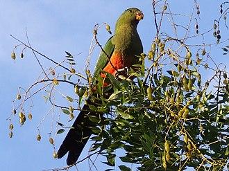 Australian king parrot - Image: Alisterus scapularis Canberra 8