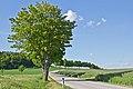 Allee entlang der LH 61 bei Haslau 2014-05 NÖ-Naturdenkmal GD-084.jpg