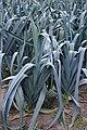 Allium ampeloprasum var. porrum 'Farinto' (2).jpg
