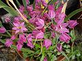 Allium oreophilum 4.JPG
