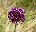 Allium scorodoprasum inflorescence (17).jpg
