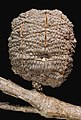 Allocasuarina decussata - Flickr - Kevin Thiele.jpg