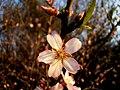 Almond Blossom, Fields of Givat Brenner, Shfelah , Israel פריחת השקד, שדות גבעת ברנר, שפלת יהודה - panoramio (2).jpg
