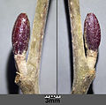 Alnus glutinosa sl5.jpg