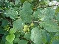 Alnus viridis foliage Bulgaria.jpg