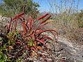 Aloe mawii 4 (9549065464).jpg