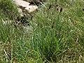 Alpine timothy, Phleum alpinum var. alpinum (26190140297).jpg