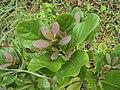 Alseodaphne semecarpifolia 22.JPG