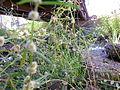 Alternanthera nodiflora plant2 (8371184285).jpg
