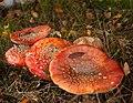 Amanita muscaria (8071948032).jpg