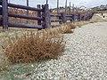 Amaranthus albus (8186658004).jpg