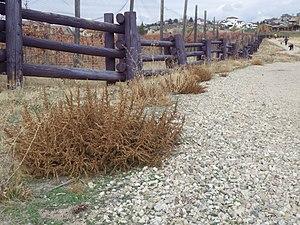 Amaranthus albus - Image: Amaranthus albus (8186658004)