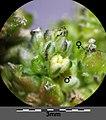 Amaranthus viridis sl38.jpg