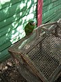 Amazona ventralis -Dominican Republic-4a.jpg