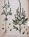 Ambrosia artemisifolia — Flora Batava — Volume v20.jpg