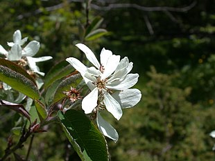 Amelanchier ovalis flowers.jpg