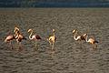 American Flamingo - Flamenco (Phoenicopterus ruber) (10421812806).jpg