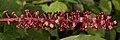 American Pokeweed (Phytolacca americana) - Kitchener, Ontario 03.jpg