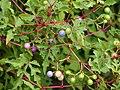 Ampelopsis japonica Winnik 2018-09-02 01.jpg