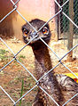 An Emu at Indira Gandhi Zoo park in Visakhapatnam (2).JPG