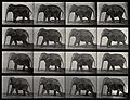 An elephant walking. Photogravure after Eadweard Muybridge, Wellcome V0048775.jpg