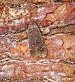 Anacampsis Timidella (35780273936).jpg