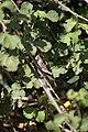 Anacridium aegyptium (Crete).JPG