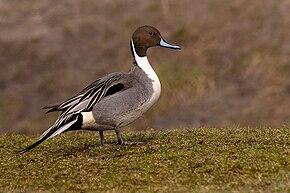 un oiseau - ajonc - 5 mai trouvé par Martine bravo 290px-Anas_acuta_20070302