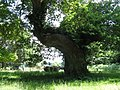 Ancient Oak in car park at Lord's Piece Access land - geograph.org.uk - 1379515.jpg