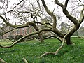 Ancient plane trees - geograph.org.uk - 774867.jpg
