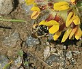 Andrena (Taeniandrena) wilkella - female - Flickr - S. Rae (6).jpg