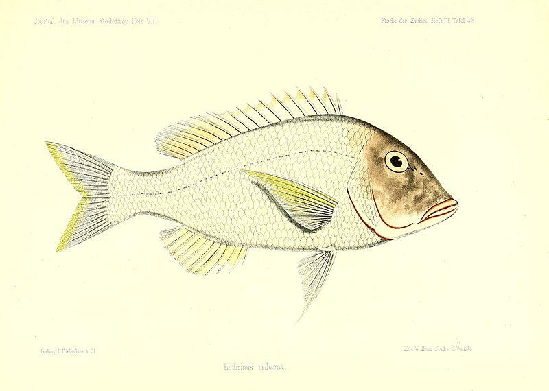 File:Andrew Garrett's Fische der Südsee (1873) (18191969782).jpg