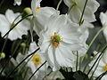 Anemone hupehensis-IMG 6163.jpg