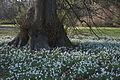 Anglesey Abbey And Lode Mill 17-2-2013 Snowdrops Galanthus (8548400680).jpg