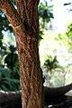 Annona-urbaniana-(2).jpg