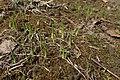 Anthericum ramosum kz02.jpg
