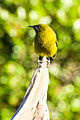Anthornis melanura -Tiritir Matangi Island -NZ-8c.jpg