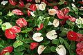 Anthurium at lalbagh flower show 7109.JPG