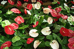 Anthurium at lalbagh flower show 7109