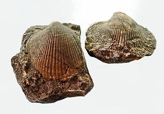 Cryptodonta - Panenka bohemica (Antipleuridae) from Czech Republic, at the National Museum (Prague)