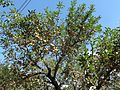 Apple tree loaded.jpg
