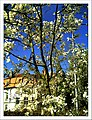 April Magnolia grandiflora Freiburg Botanischer Garten - Master Botany Photography 2013 - panoramio (3).jpg