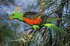 Aprosmictus erythropterus -Mareeba Wetlands -Queensland-8.jpg