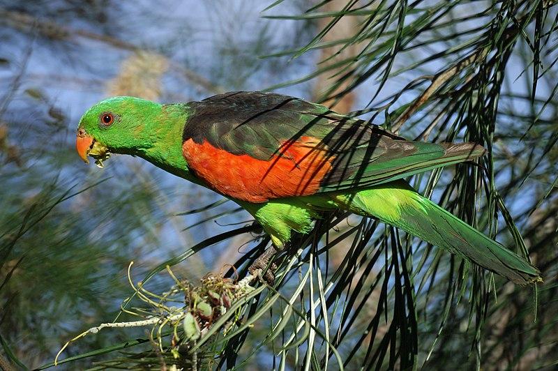Soubor:Aprosmictus erythropterus -Mareeba Wetlands -Queensland-8.jpg