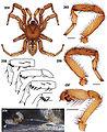Aptostichus cahuilla anatomy.jpg