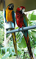 Ara ararauna and Ara chloropterus -captive-6a.jpg