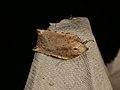 Arachnographa micrastrella (37727406282).jpg