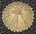 Arbacia waccamaw fossil sea urchin (Pliocene; Intercoastal Waterway, Calabash, North Carolina, USA) 2 (17198246858).jpg